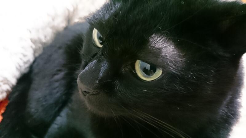 猫ベッドに入っている黒猫カイくん