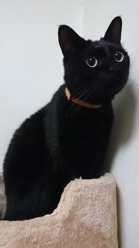 キャットタワーにてぬいぐるみのような黒猫カイくん