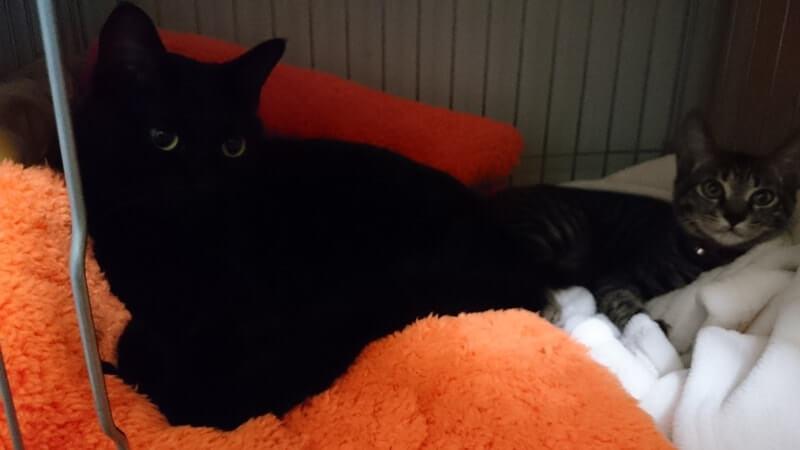 ケージの中で横になる黒猫カイくんとキジトラのココちゃん