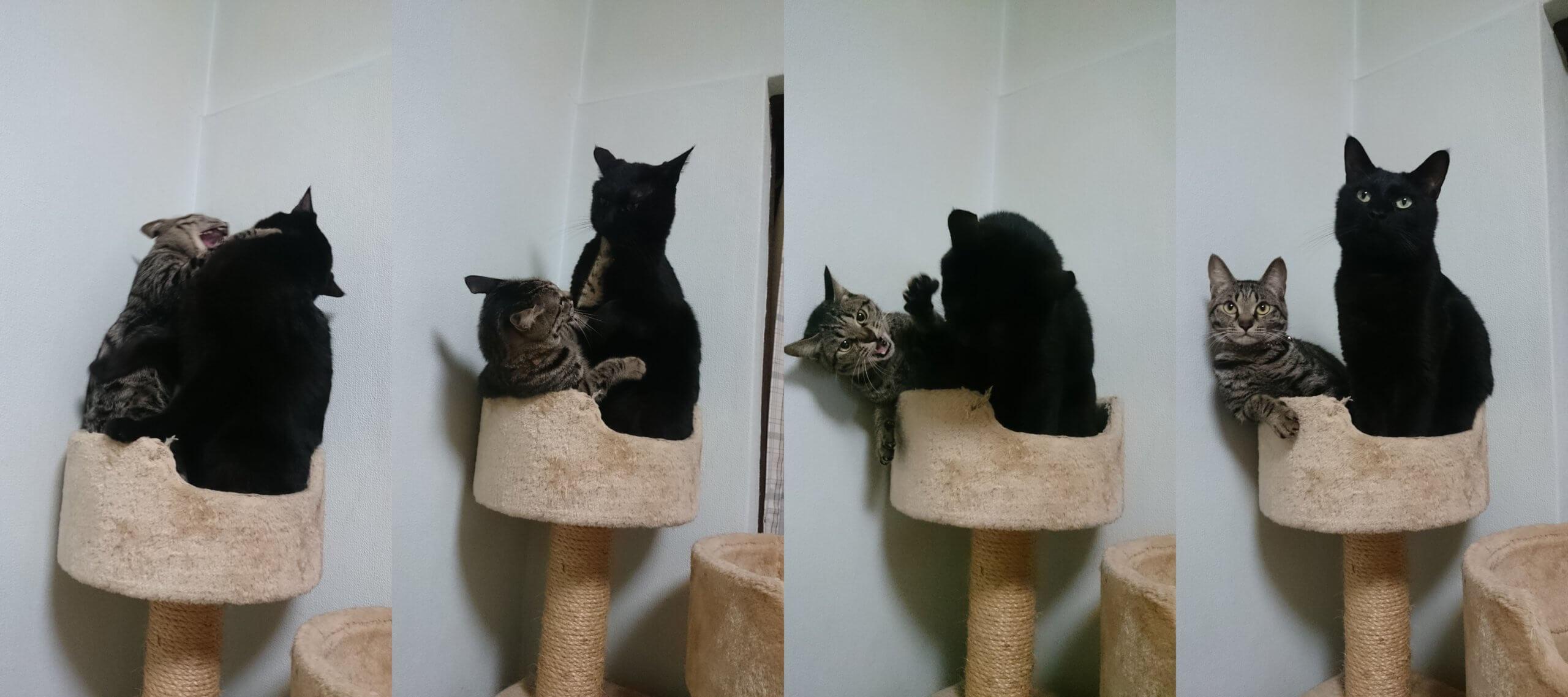 キャットタワーで戦いを繰り広げる黒猫カイくんとキジトラのココちゃん