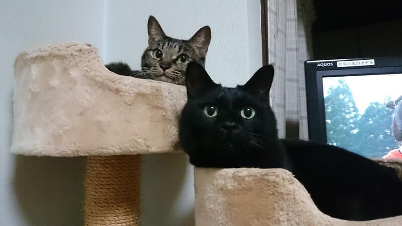 キャットタワーで寛ぐ黒猫カイくんとキジトラのココちゃん