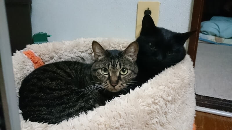 猫ベッドで一緒に寝る黒猫カイくんとキジトラのココちゃん