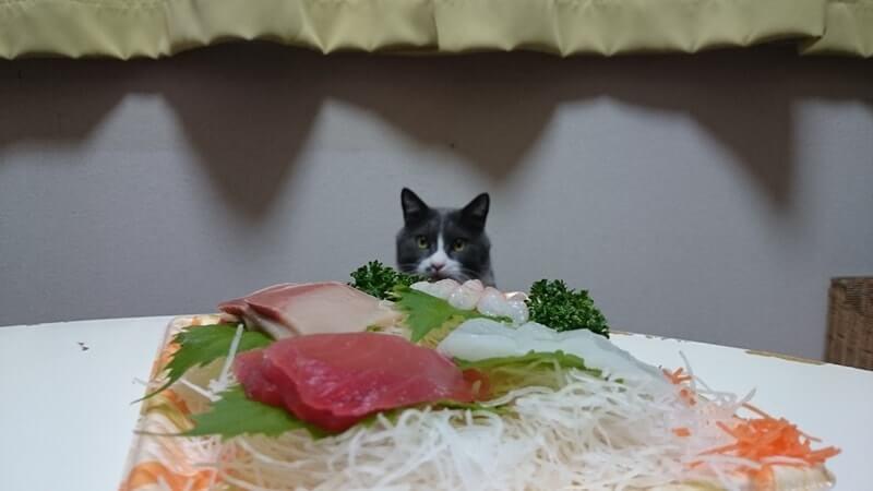 お刺身をガン見している愛猫モコ