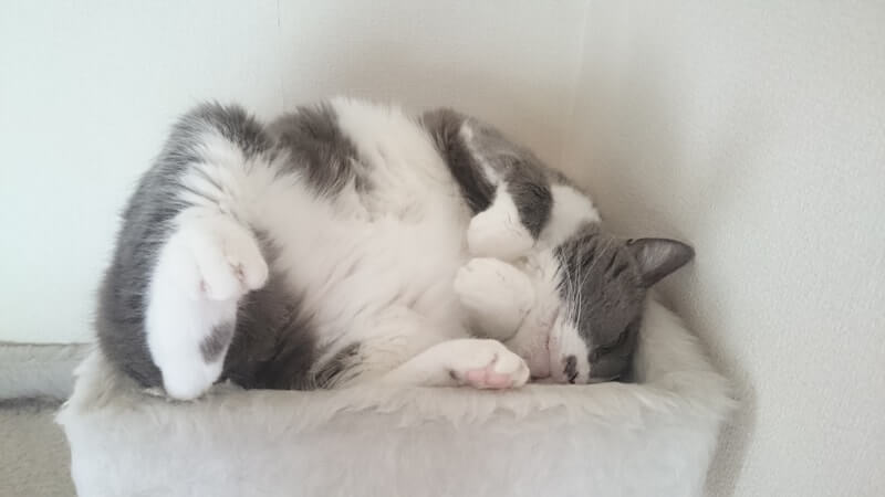 調子は悪いがへそ天して寝ている愛猫モコ