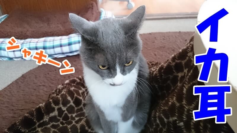 イカ耳になっている愛猫モコ