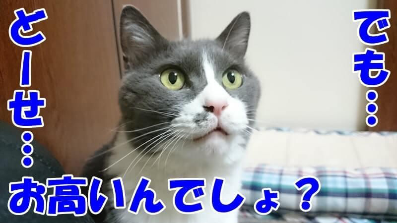 お高いんでしょ?と疑っている体の愛猫モコ