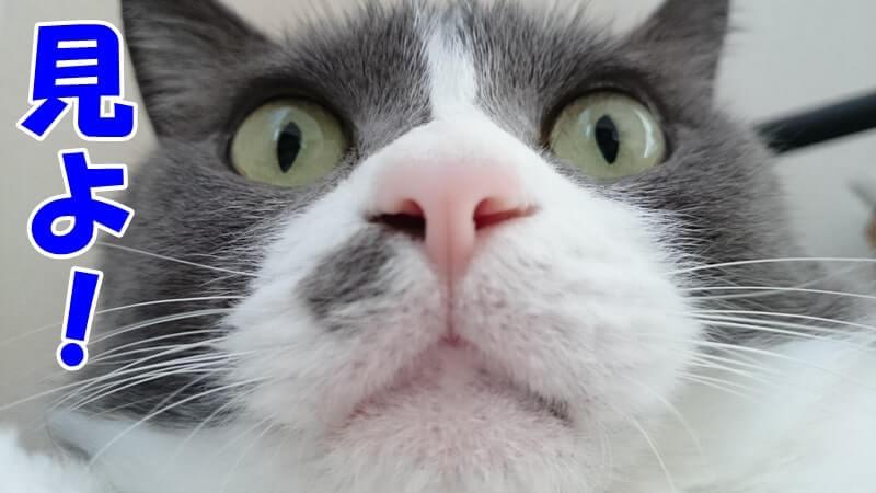 自分のひげを見よとすごむ体の愛猫モコ